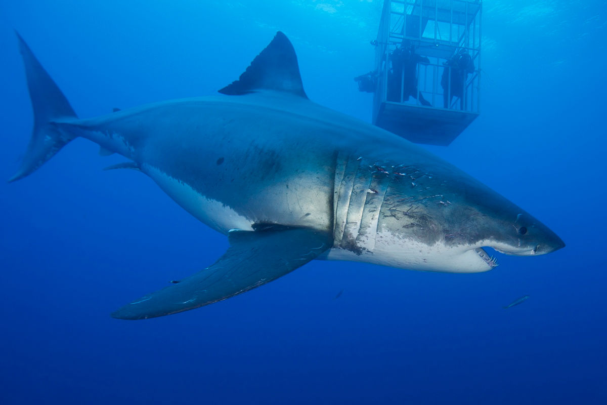 great-white-shark-guadalupe-amanda
